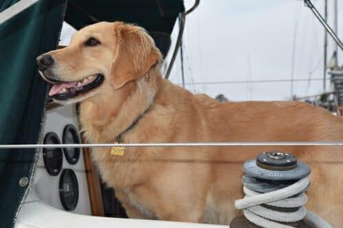Honey the golden retriever looks happy on the boat.