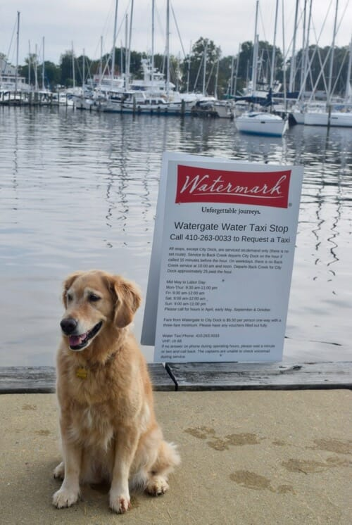 Honey waiting for the water taxi in Annapolis.