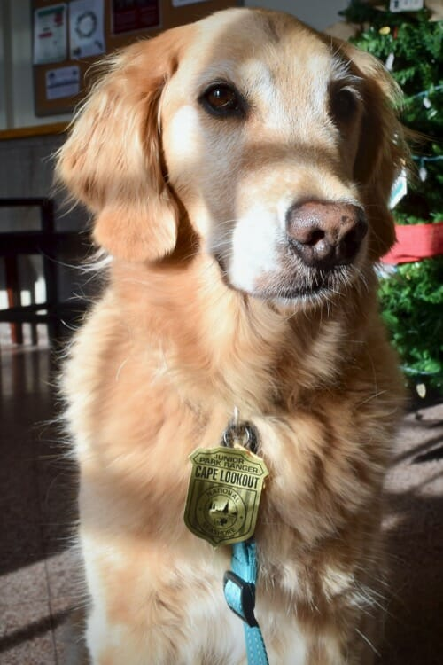 Learn about the wrong way to train your dog with treats. (Honey the golden retriever with her junior park ranger badge.)