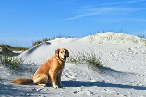Review of 2018 on Meander (golden retriever in front of white dunes)