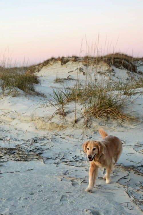 Golden retriever walking near beach dunes.