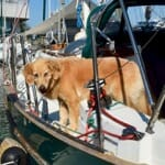 Golden retriever on a boat