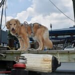 golden retriever on pier