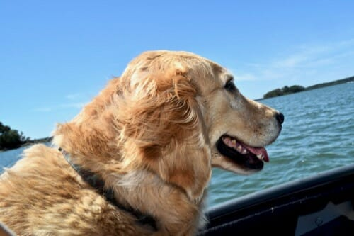 Review of 2018 on Meander. (golden retriever in dinghy)