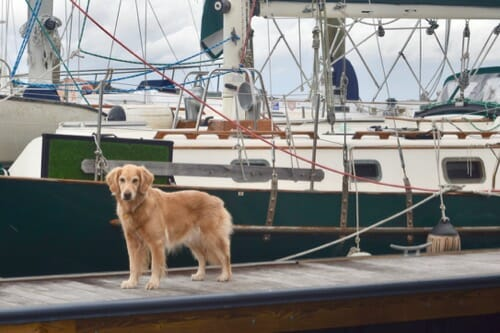 Golden retriever on dock in front of sailboat.