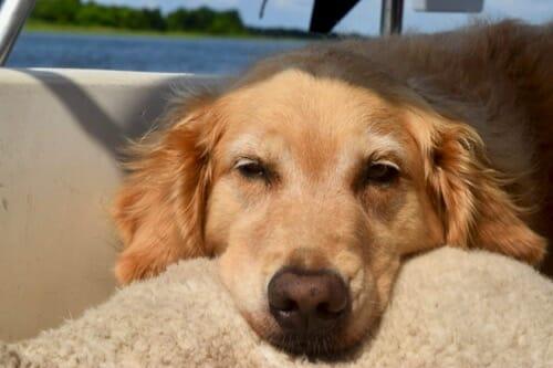 Golden retriever napping.