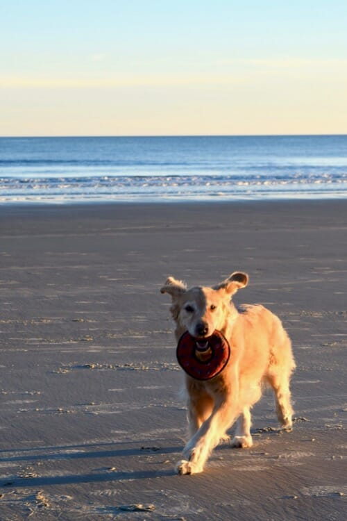 Golden retriever with toy running on the beach.