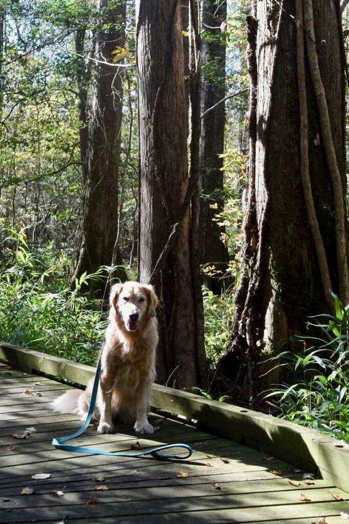 Golden retriever on board walk in swamp.
