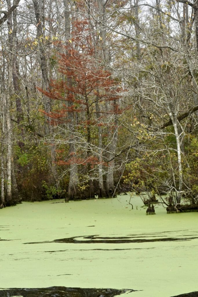 Green water in a swamp.