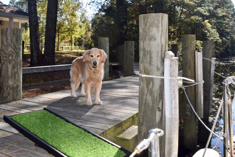 Golden retriever on dock.