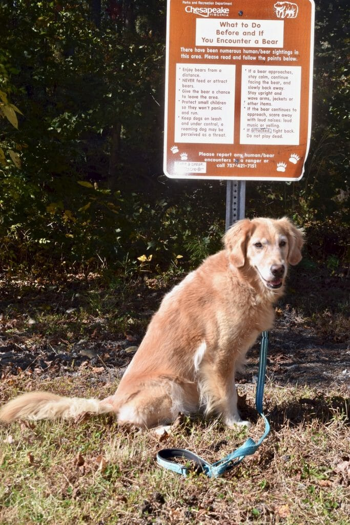Golden retriever with bear warning sign.